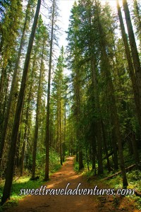 A dirt hiking trail with tall green lodgepole pine trees on both sides of the trail