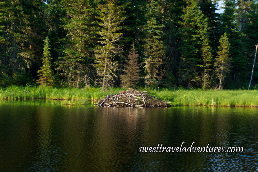Beaver lodge made with wooden branches on rippled lake next to grassy shore with many large green trees