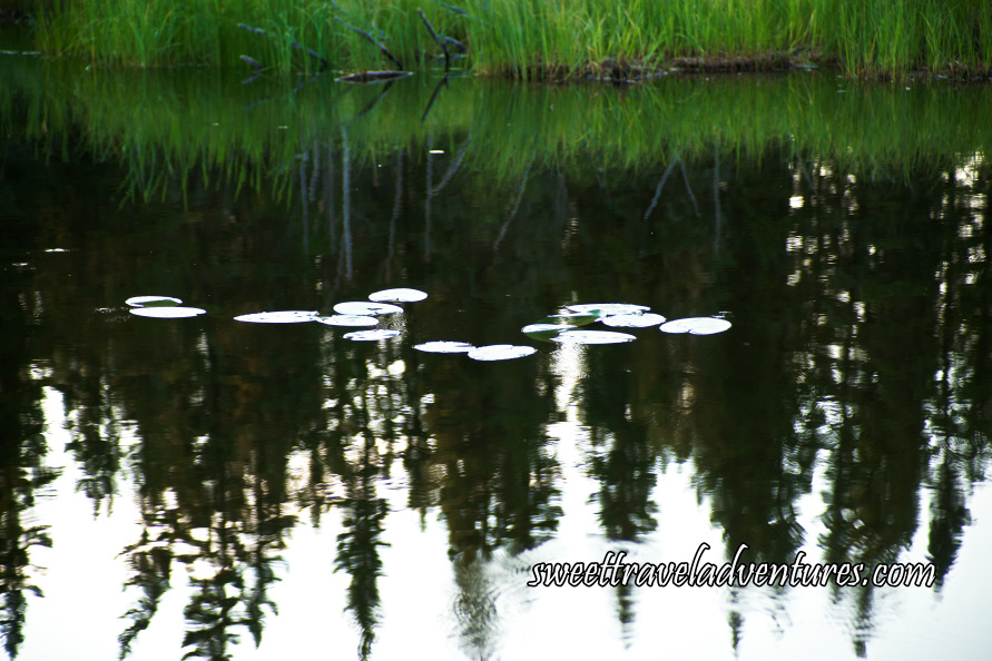 Close up of Lily Pads Next to Reeds With Trees Reflected on the Water