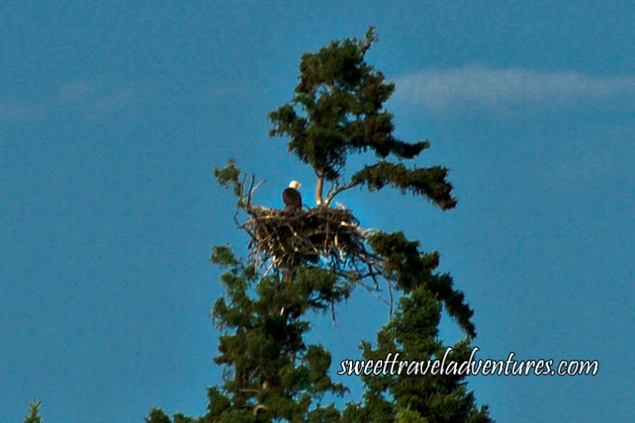 Back of eagle in eagle nest on top part of large tree and blue sky
