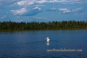 Pelican on large blue lake with green trees in the background and blue sky with several large fluffy white clouds
