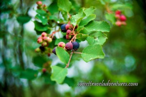 Purpleish-Blue, Red, and Green Berries Hanging From A Branch With Green Leaves