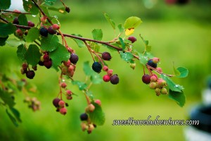 Purplish-Blue, Red, and Green Saskatoon Berries on a Branch of a Bush With Green Leaves and Green Grass in the Background