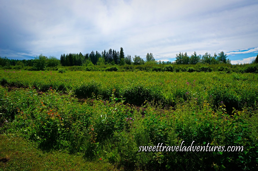 Rows of Green Bushes With Berries and Green Trees in the Background and a Blue Sky With Lots of Large Fluffy White Clouds Joined Together
