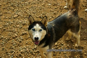 A Blue-Eyed Husky Looking at You With a Dark Coat and White Face and Legs, its Ears Pointed Straight Up, and Mouth Open, Standing on Gravel and Dirt