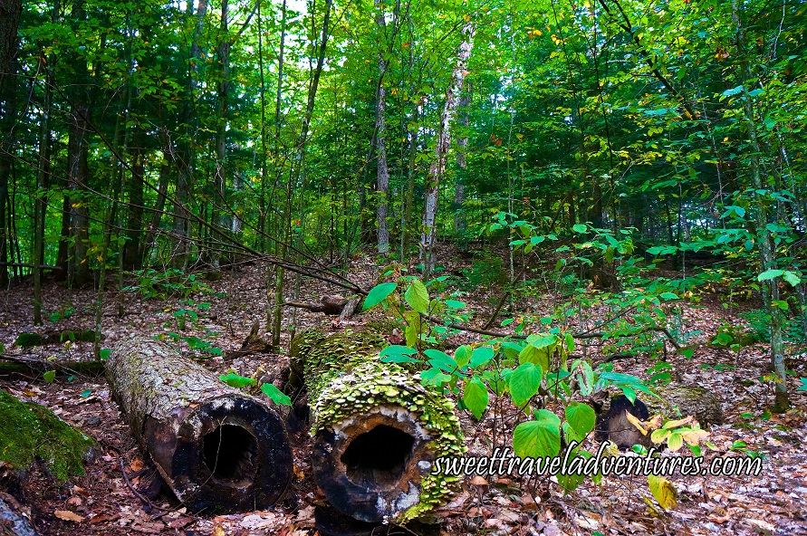 Two Large Hollow Logs Lying on the Forest Floor With Green Plants Around One of Them, Some Small Green Plants Around the Logs, and Behind Are Tall Green Trees