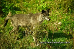 Side View of Large Grey Wolf Standing in Green Grass