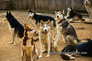 Two Rows of Huskies, the First Row the Huskies Are All of Different Colours and the Second Row Are All Black With White Stomachs, One Black Husky Lying Down on the Right in Partial View of its Body and Tail End