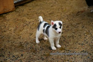 Small Fluffy White Husky Pup With Black Markings Above its Eyes and Three Long Black Markings Around its Coat is Standing on Slightly Wet Ground , Its Ears Are Pink in the Inside and One is Pointed Straight Up While the Other is Flopped Over