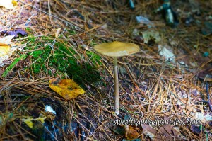 Mushroom With Thin Long Stem and Wide Flat Top in a Golden Colour Growing From the Ground With Grass and Leaves Around it