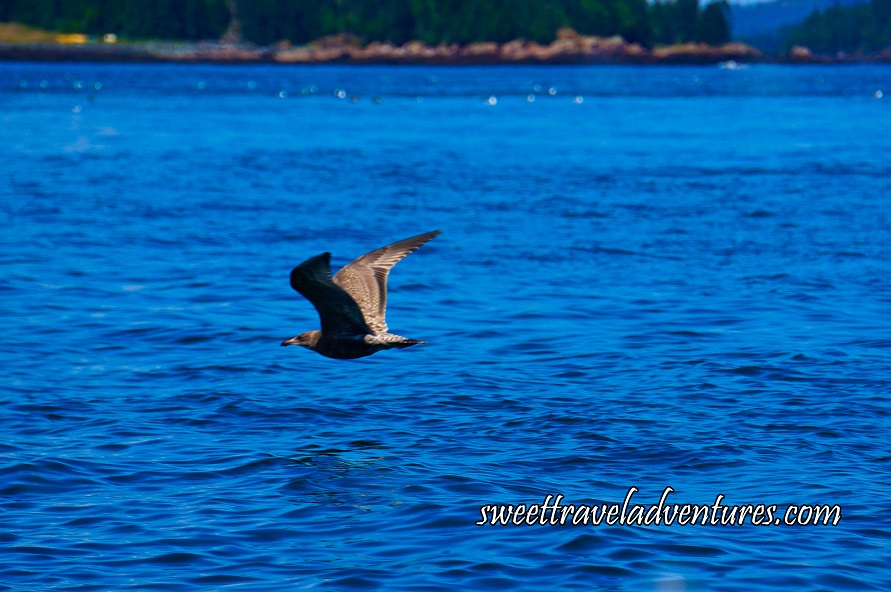 Medium Sized Grey and White Bird Flying Over Rippled Blue Water